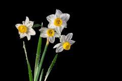 Daffodils влажные Стоковое фото RF