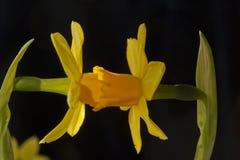 Контакт daffodil стоковое фото rf