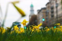 Daffodils в городе стоковое изображение