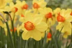Daffodils в парке стоковое фото rf