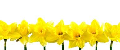 Daffodils в ряд на белизне Стоковое Изображение