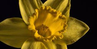 Daffodils в ряд Стоковое фото RF