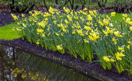 Daffodils в саде стоковые фотографии rf