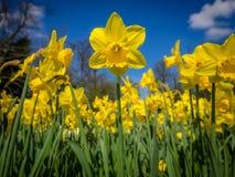 Daffodils в саде Стоковое Изображение RF