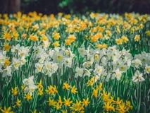 Daffodils в саде Стоковые Изображения