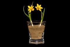2 Daffodils в стекле Стоковые Фото