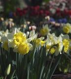 Daffodils в цветени Стоковые Фото