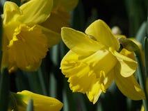 Daffodils в цветени Стоковое Изображение RF