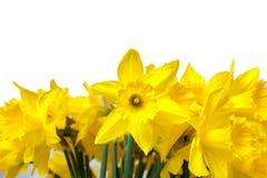 daffodils изолировали белизну Стоковое Фото