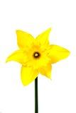 daffodils изолировали белизну Стоковая Фотография RF