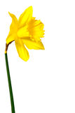 daffodils изолировали белизну Стоковые Изображения
