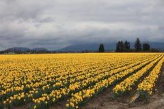 Daffodils идут на навсегда стоковая фотография rf