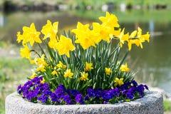 Daffodils и pansies Стоковые Фотографии RF