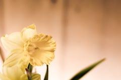 Daffodils на деревянной предпосылке цветки 3 Стоковое Изображение