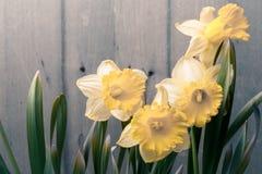 Daffodils на деревянной предпосылке цветки 3 Стоковая Фотография RF
