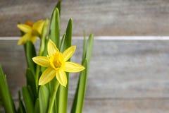 Daffodils на деревянной предпосылке Стоковое Изображение RF