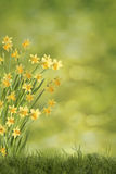 Daffodils на зеленом луге Стоковые Фотографии RF