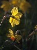 Daffodils на зоре Стоковое Фото