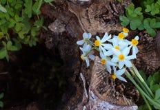 Daffodils на пне среди травы Стоковое Фото