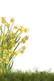 Daffodils на луге Стоковая Фотография