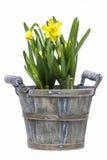 daffodils предпосылки изолировали белизну Стоковые Фото