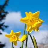 Daffodils против неба Стоковое Фото