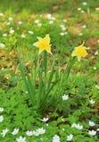 Daffodils среди деревянных ветрениц Стоковые Фото