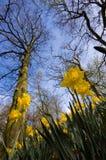 daffodils Стоковые Фотографии RF
