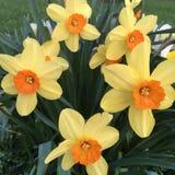 daffodils imagem de stock