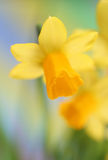 Daffodils. Close-up of spring yellow Daffodils royalty free stock photo