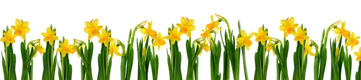 Daffodils. Fresh daffodils isolated on white background Stock Images