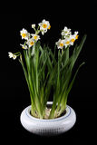 Daffodils. In porcelain cylinder with black background stock photography