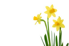 Free Daffodils Stock Photos - 13418633