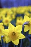 Daffodils Stock Image