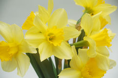 Daffodils. Macro photo of beautiful spring daffodils Royalty Free Stock Photos