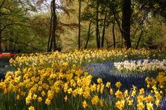 Daffodils Fotografia Stock