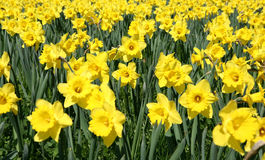 Daffodils. Field of blooming daffodils in early spring in a park stock image