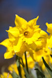 Daffodils Imagens de Stock