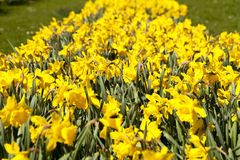 Daffodils. Close up of daffodils in april royalty free stock image