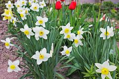 Daffodils и тюльпаны в саде стоковая фотография