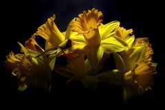 Daffodils. Isolation on black background Royalty Free Stock Photography