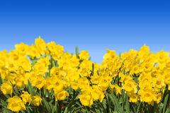 Daffodils Foto de Stock
