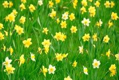daffodils Στοκ Εικόνα