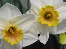 daffodils στοκ εικόνες με δικαίωμα ελεύθερης χρήσης