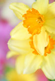 Daffodils. Close up of spring Daffodils royalty free stock photos
