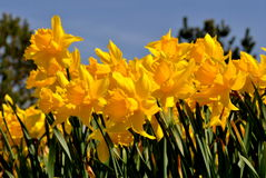Daffodils. Bright yellow daffodils in spring time with a blue sky background Stock Image