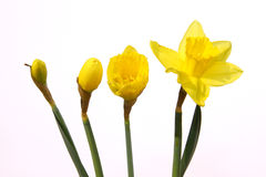 daffodils Стоковые Фото