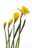 daffodils Стоковые Изображения