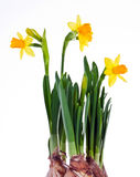 Daffodils. Yellow daffodils isolated on white background Stock Photography