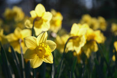 Daffodils Royalty Free Stock Image